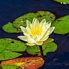 Water Lily 2 @ Brookgreen Gardens - Murrells Inlet, SC, USA