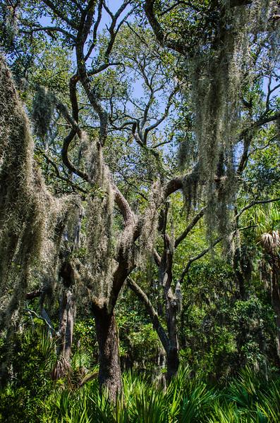 Spanish Moss Draped On Live Oaks - Edisto Island State Park, Edisto Island, SC
