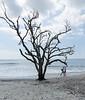 Beach Tree - Botany Bay WMA, Edisto Island, SC
