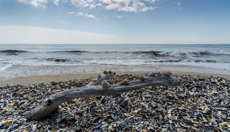 Shells On Driftwood - Botany Bay WMA, Edisto Island, SC by Paul Diming