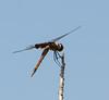 Dragonfly - Botany Bay WMA, Edisto Island, SC