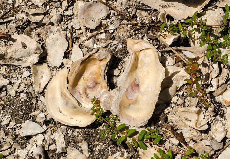Spanish Mount  Oyster Shells II - Edisto Island State Park, Edisto Island, SC