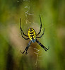 Spider - Botany Bay WMA, Edisto Island, SC