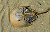 Horseshoe Crab - Edisto Beach, SC