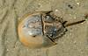 Horseshoe Crab - Edisto Beach, SC