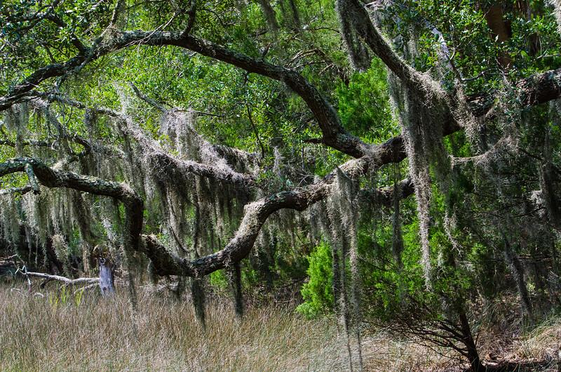 Spanish Moss Draped On Live Oaks II - Edisto Island State Park, Edisto Island, SC