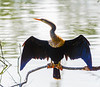 adult female Anhinga I @ Sea Pines Forest Preserve - Hilton Head Island, SC