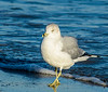 Strolling Ring-billed Gull @ Folly Field Beach - Hilton Head Island, SC