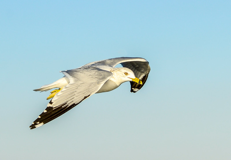 Ring-billed Gull in Flight @ Folly Field Beach - Hilton Head Island, SC