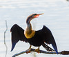 adult female Anhinga 2 @ Sea Pines Forest Preserve - Hilton Head Island, SC