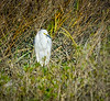Egret in the Marsh @ Burkes Beach - Hilton Head Island, SC