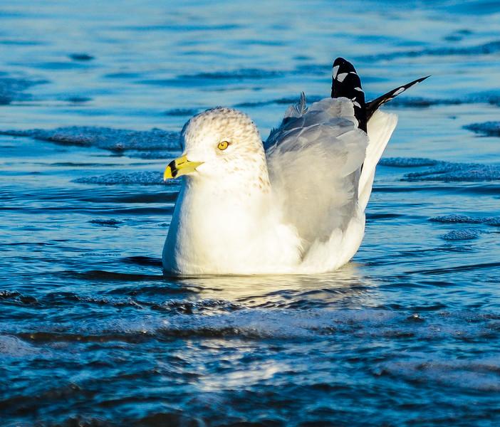 Floating Ring-billed Gull @ Folly Field Beach - Hilton Head Island, SC
