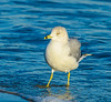 Ring-billed Gull Posing @ Folly Field Beach - Hilton Head Island, SC