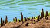 Cypress Knees @ Sea Pines Forest Preserve - Hilton Head Island, SC
