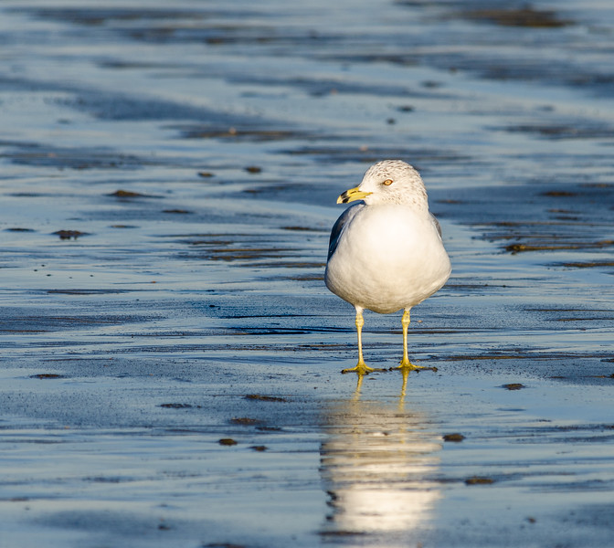 Ring-billed Gull 1 @ Folly Field Beach - Hilton Head Island, SC