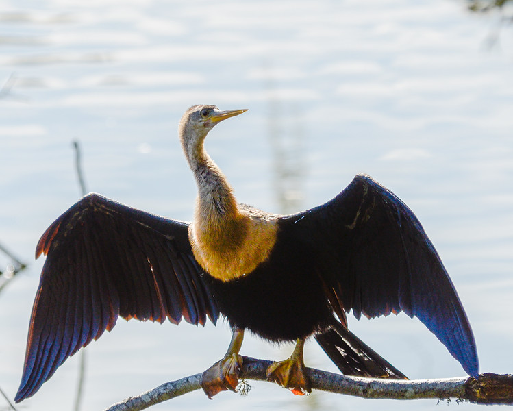 adult female Anhinga 3 @ Sea Pines Forest Preserve - Hilton Head Island, SC