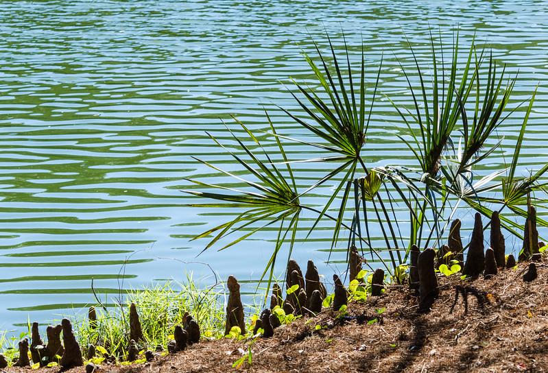 Cypress Knees & Saw Palmetto @ Sea Pines Forest Preserve - Hilton Head Island, SC