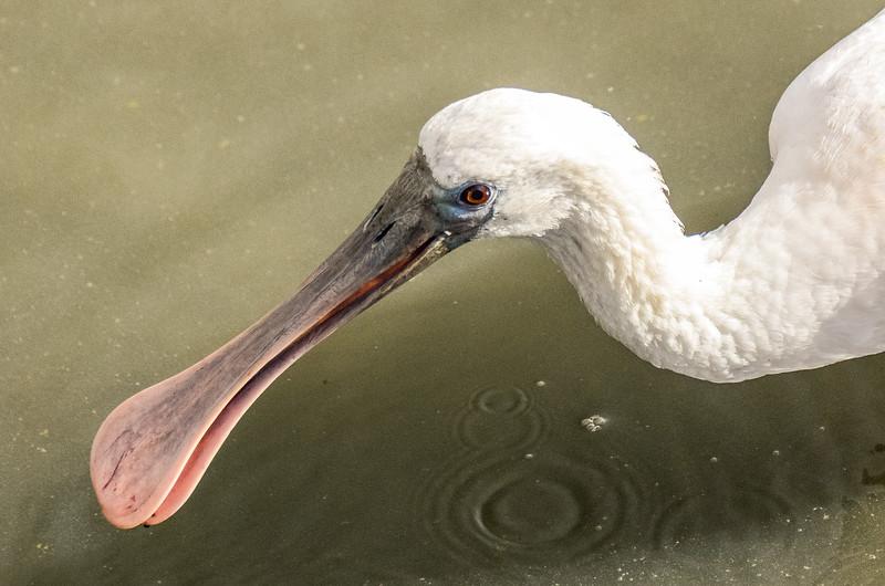 Roseate Spoonbill Closeup @ Huntingdon Beach State Park - Murrells Inlet, SC