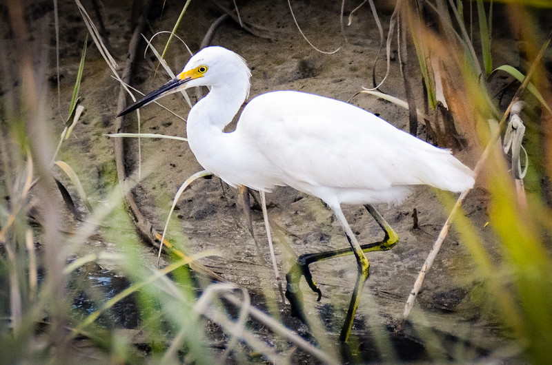 Snowy Egret in the Marsh @ Huntingdon Beach State Park - Murrells Inlet, SC