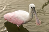 Roseate Spoonbill Looking at Me @ Huntingdon Beach State Park - Murrells Inlet, SC