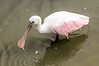 Roseate Spoonbill Wading 2 @ Huntingdon Beach State Park - Murrells Inlet, SC