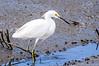 Snowy Egret Wading @ Huntingdon Beach State Park - Murrells Inlet, SC