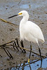 Snowy Egret @ Huntingdon Beach State Park - Murrells Inlet, SC