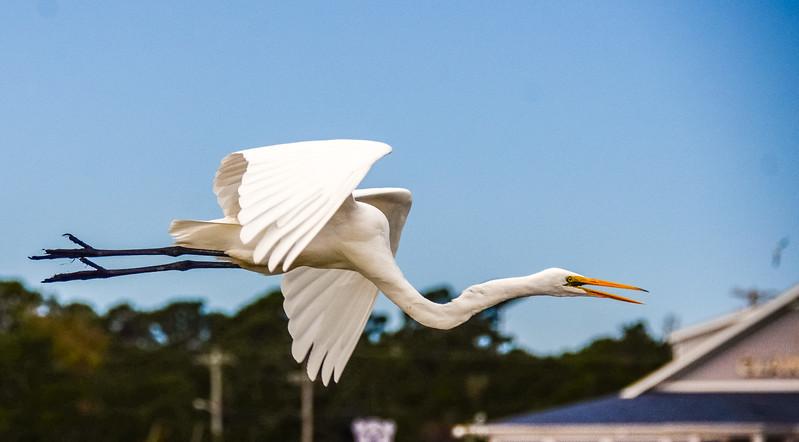 Egret in Flight - Murrells Inlet, SC
