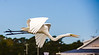 Egret in Flight - Murrells Inlet, SC