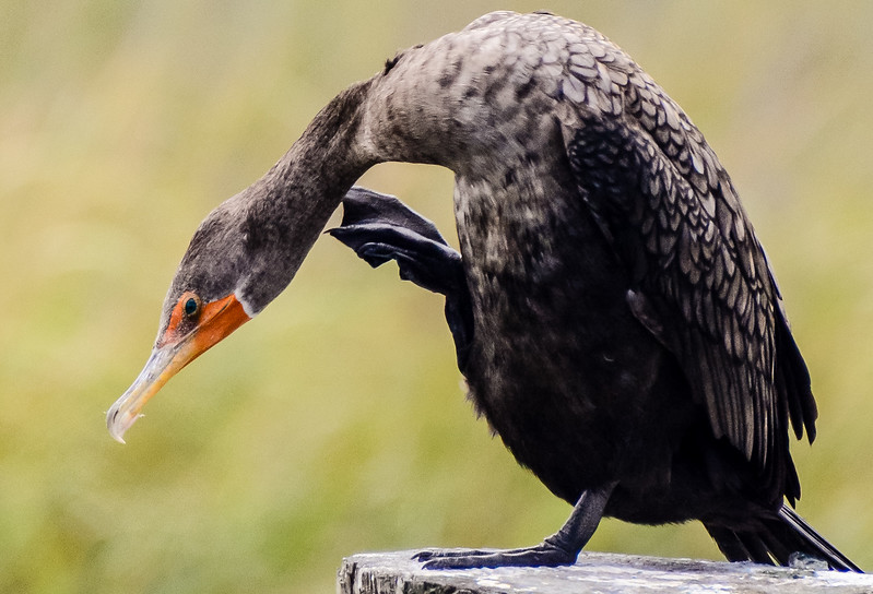 Double-crested Cormorant Scratching  - Murrells Inlet, SC