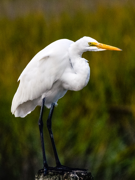 Great Egret 6 - Murrells Inlet, SC