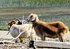 "Goats on ""Goat Island"" - Murrells Inlet, SC"