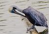 Brown Pelican Preening  - Murrells Inlet, SC