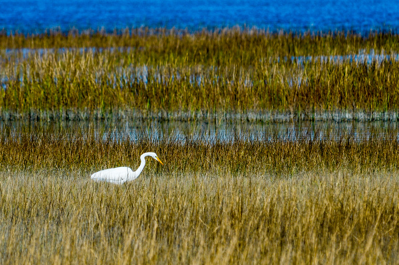 Great Egret @ Pinckney Island NWR - Beaufort County, SC