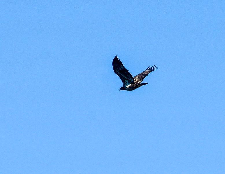 2nd or 3rd Year Bald Eagle @ Pinckney Island NWR - Beaufort County, SC