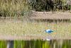 "immature ""white phase"" Little Blue Heron @ Pinckney Island NWR - Beaufort County, SC"