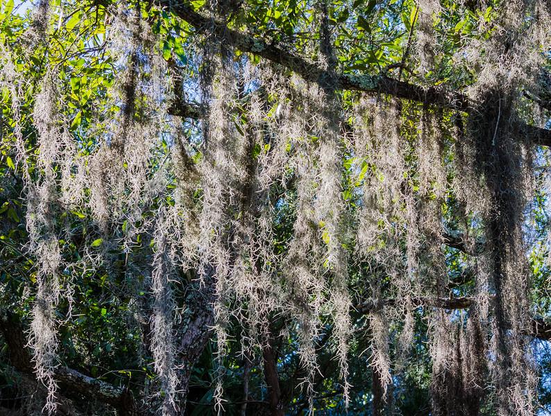 Spanish Moss @ Pinckney Island NWR - Beaufort County, SC