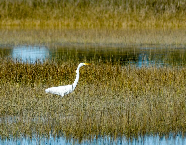 Great Egret II @ Pinckney Island NWR - Beaufort County, SC