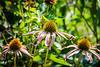 Purple Cone Flower (Echinacea purpurea) @ Monticello - Charlottesville, VA