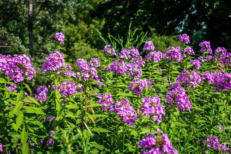 Garden phlox (Phlox paniculata) @ Monticello - Charlottesville, VA