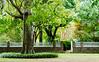 Big Tree @ Eyre Hall - Cheriton, VA