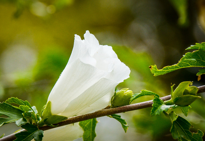 Rose of Sharon (Hibiscus syriacus) @ Eyre Hall - Cheriton, VA