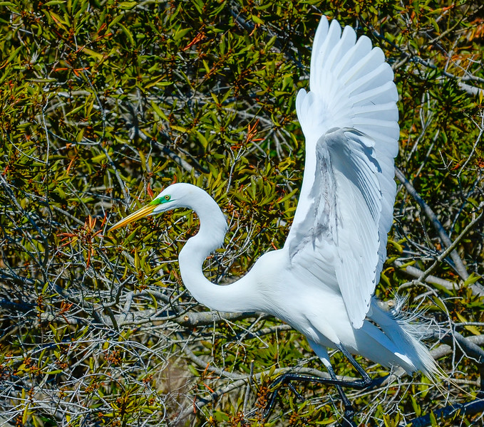 Great White Egret Landing @ Chincoteague NWR - Chincoteague, VA