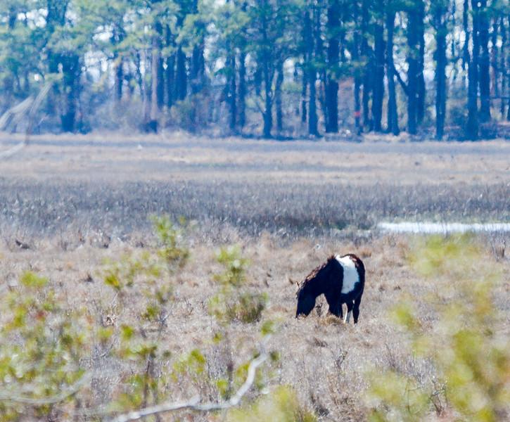 Wild Pony @ Chincoteague NWR - Chincoteague, VA