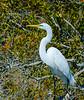 Great White Egret Posing @ Chincoteague NWR - Chincoteague, VA
