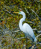 Great White Egret Posing @ Chincoteague NWR - Chincoteague, VA