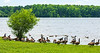 Canada Geese @ Beaverdam Park - Gloucester, VA, USA