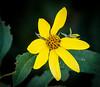 Small-headed Sunflower in Goshen Pass - Goshen, VA