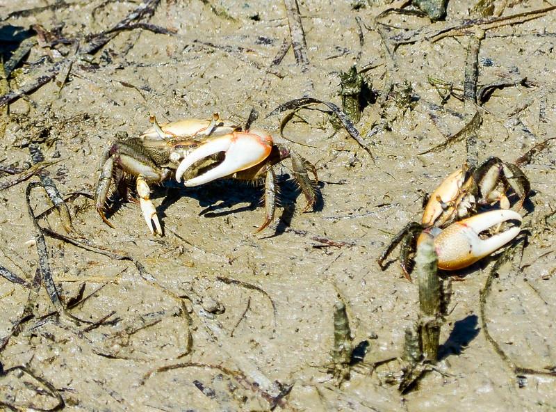Fiddler Crabs @ New Point Comfort Light - Matthews County, VA
