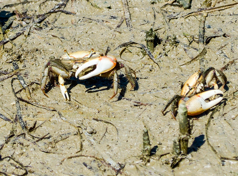 Fiddler Crabs @ New Point Comfort Light - Matthews County, VA